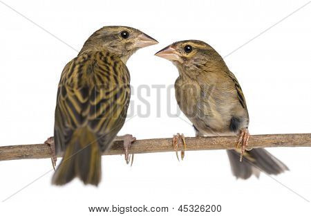 Two Red Fods perched on a branch, facing each other  - Foudia madagascariensis, isolated on white