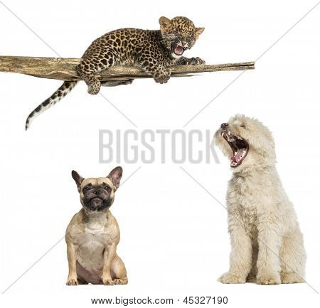 Pyrenean Shepherd, French Bulldog, Spotted Leopard cub on a branch, isolated on white