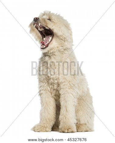 Pyrenean Shepherd, two years old, yawning, mouth opened, isolated on white