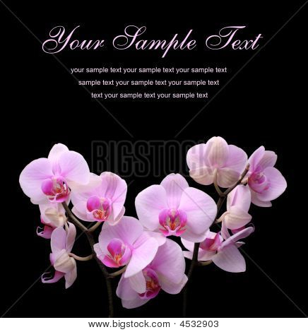 Pink Orchid Flower On A Black Background