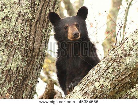 Bear cub look out