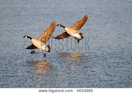 Pair of Canadian Geese landing on a lake with slight reflection on water. poster