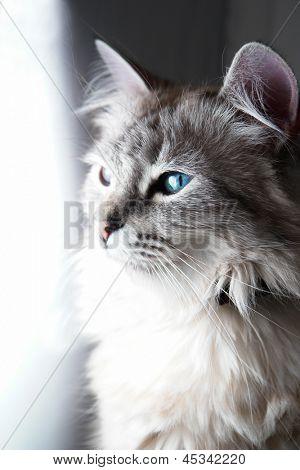 Blue eyed cat portrait in natural light