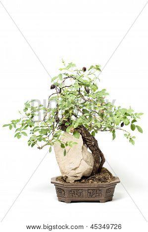 Little Bonsai Tree
