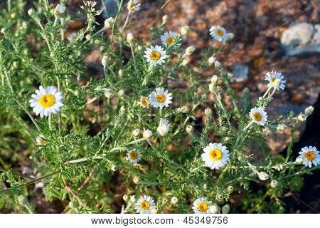 Herbs Camomile On The Stone