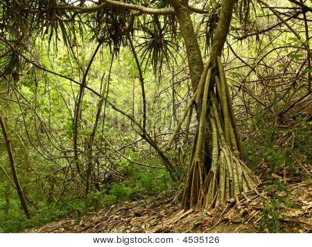 Tree At Sigatoka