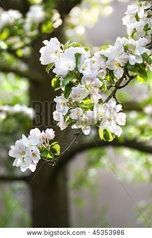 Appleblossom On Appletree In Spring