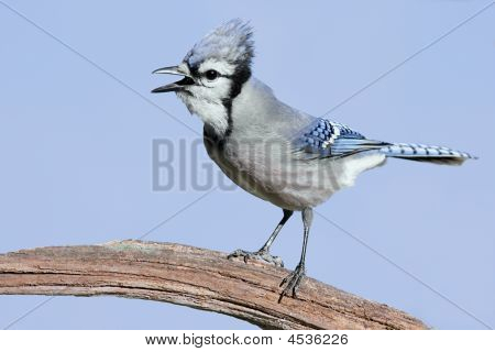 Blue Jay (corvid cyanocitta) perched on a stump with a blue sky background poster
