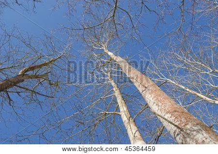 Naked Aspen Tree Branch  Blue Sky Background