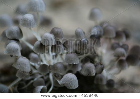 Pale Mushrooms