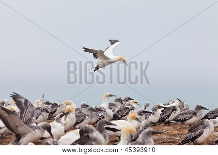 Colony of Australasian Gannets Morus serrator