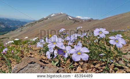 Wildflowers In The Sierra Nevada
