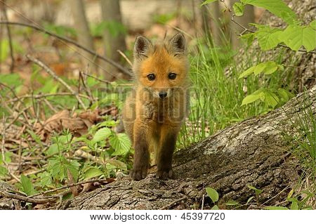 Red Fox Kit (vulpes) playing near the den poster