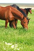 three horses are grazed on a meadow poster