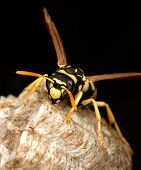 Macro of a wasp in the nest on black background ** Note: Slight blurriness, best at smaller sizes poster