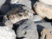 A Great Basin Spadefoot Toad in Eastern Washington poster
