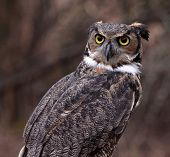 A Great Horned Owl (Bubo virginianus) looking concerned. poster