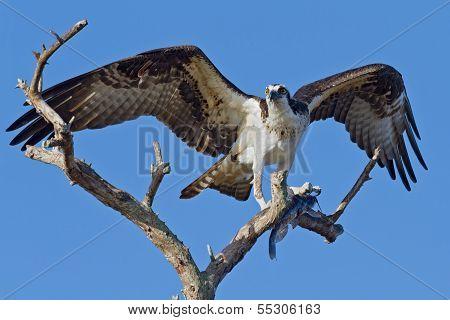 Osprey With Fish (pandion Haliatus)
