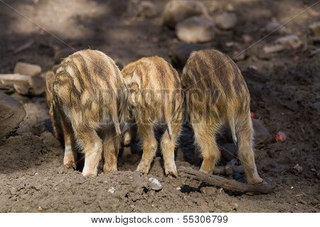 Three Young Boar Pigs From Behind