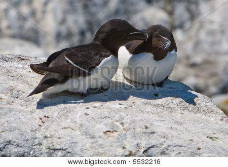 Pair Of Razorbills