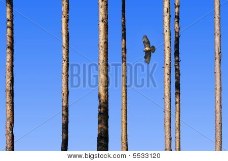 Flying Falcon Between The Trees.