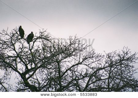 Two Vultures In Treetop South Africa