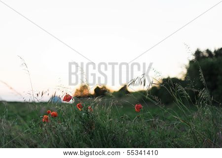 Poppies And Flowers At Sunset