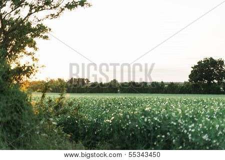 Cotton Field In The Countryside