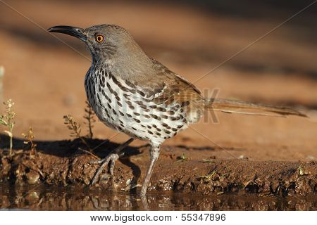 Long-billed Thrasher (Toxostoma longirostre) at the edge of a pond - Texas poster