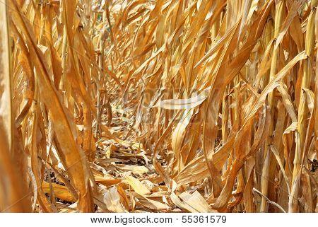 Inside Corn Field