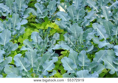 Young Brassicaceae