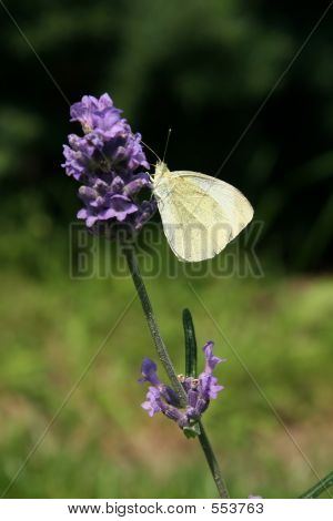 Citrin Butterfly