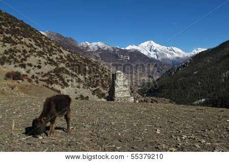 Beautiful landscape and grazing calf near Manang, Nepal. poster