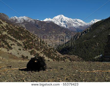 Lying cow and Pisang Peak