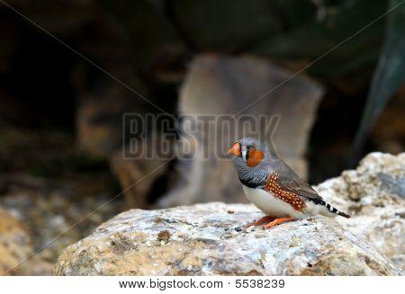 Posing Finch