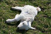 sick lamb poster