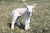 lamb close up poster
