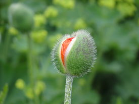 Bursting poppy