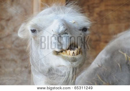 Funny Camel With Bad Teeth