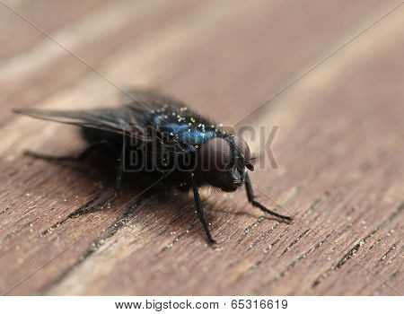 Blue Blow-fly Closeup Macro
