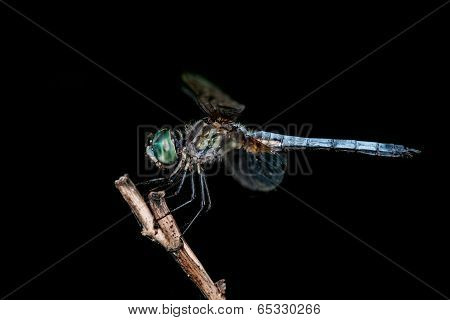 Blue Dasher On Black