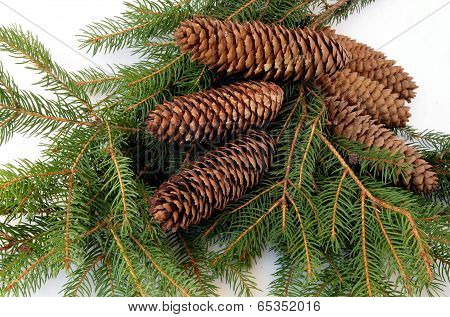 twigs of spruce coniferous tree and brown cones