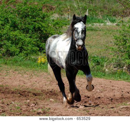 Thunder A Beautiful Percheron Horse