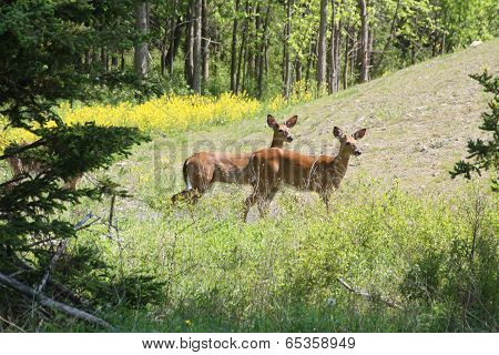 White-Tail Deer (Male)