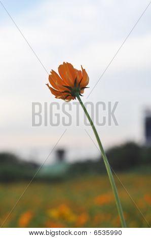 Cosmos Flower Bloom