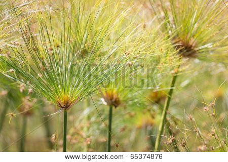 Beautiful green Papyrus plants with selective focus poster