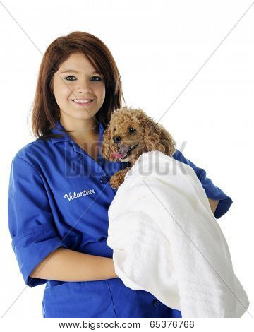 A beautiful teen volunteer happily holding a toy poodle wrapped in a white towel.  On a white background.