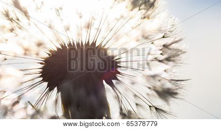 Silhouette of the head of seeds of the dandelion flower in the sunshine. poster