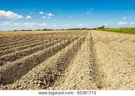 Ploughed Land With Potatoes