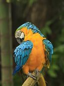 Macaw birds preening it's plumage poster